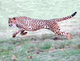 Cheetah running on open plains