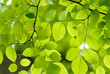 Beautiful green leaves of an American Yellow Wood