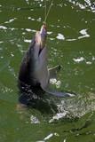 ein Hai hält seine Beute fest Australien_07_1530 poster