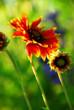 Wildflowers indian blankets blooming in a sunlit green meadow