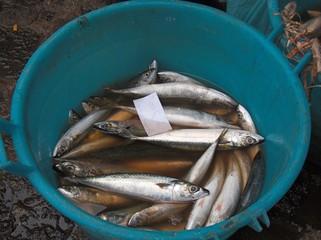 pesce fresco appena pescato al mercato del pesce azzurro