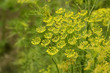 Macro of green dill with many flowers and stamen