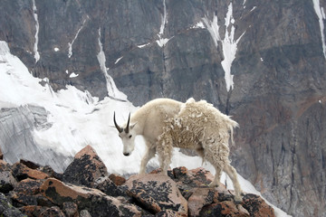 Mountain goat near Granite Peak, Montana