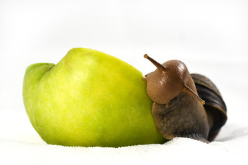 Achatina snail eats an apple