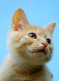 Orange tabby kitten portrait poster