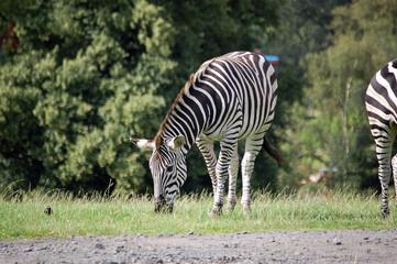 Grazing Burchell's Zebra