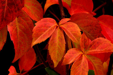 Beautifully colored autumn leaves (parthenocissus quinquefolia)
