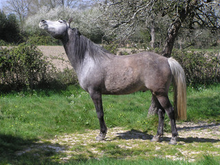 0909 - Cheval hennissant