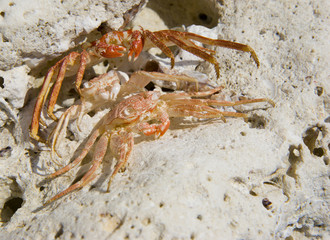 Hawaiian Crabs Baked by Sun on Kona Island Coral Rocks