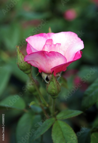 Pink rose on flowerbed
