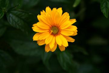 yellow summer flower after rain