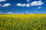 bright yellow canola field against cumulus clouds poster