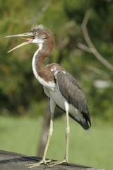 FLORIDA NATIVE BIRD CALLING