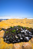 Cluster of young mussels and other shells on a rocky beach poster