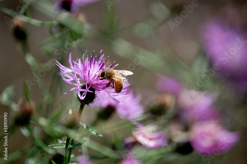 Bee on a purple flower.