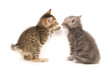 tabby and gray kitten playing