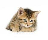 Tabby kitten resting poster