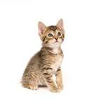Tabby kitten sitting poster