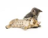 tabby and gray kitten poster