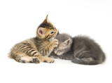 tabby and gray kitten playing poster