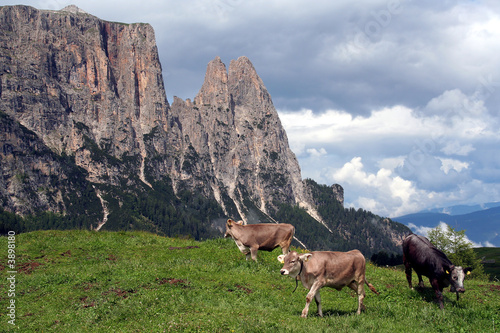 Grazing Cows in Italian Dolomites