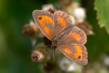 Gatekeeper Butterfly (male) on Bramble