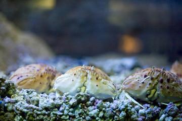 An underwater photo of Shamefaced Crabs (Calappa granulata)