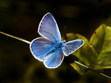 common blue butterfly (Polyommatus icarus) on black poster
