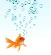 roleta: High resolution image of goldfish making bubbles.