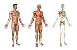 Anatomical Overlays - 3/4 View poster