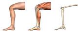 Anatomical Overlays - Bent Knee poster