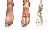 Anatomical Overlays - Bottom of the Foot poster