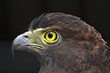 ������, ������: Serpent eagle