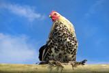 Huhn auf Planke 3 poster
