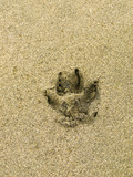 Dog paw print on a beach sand surface poster