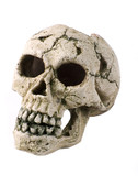 fake human skull close up on white poster