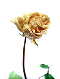 Withered Rose poster