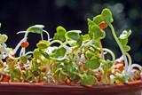 graines de radis germées poster