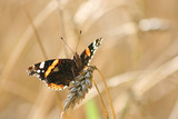Backlighted Red Admiral butterfly (Papilon Vulcain) poster