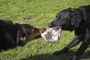 Dogs tugging on an old football