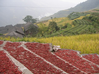 red peppers drying on a field in China near yangshuo