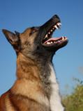 chien de garde agressif poster