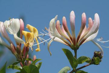 Geißblatt Blüten