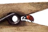 ladybug on wodden clothes-peg poster
