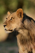 Young African lion (Panthera leo)