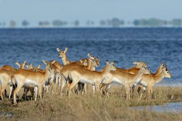 Red lechwe antelopes (Kobus leche), Botswana