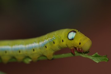 hawk moth caterpillar 4