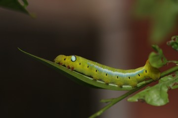 hawk moth caterpillar 3