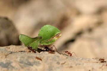 Fourmis coupeuses de feuilles