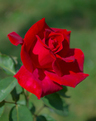 beautiful scarlet rose bud close up